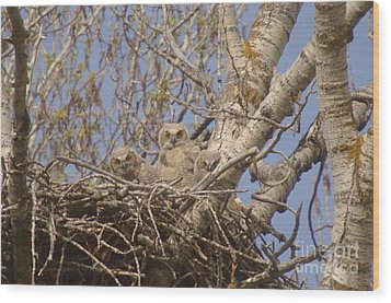 Three Baby Owls  Wood Print by Jeff Swan