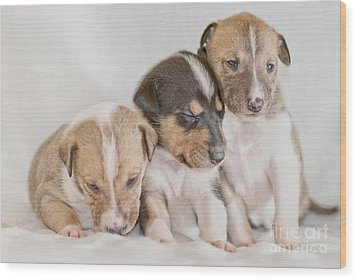 Three Collie Puppies Wood Print by Martin Capek