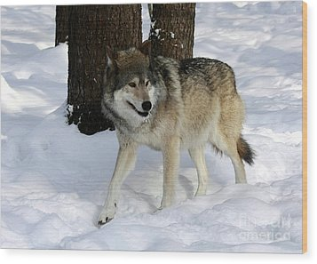 Timber Wolf In A Winter Snow Storm Wood Print by Inspired Nature Photography Fine Art Photography