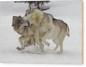 Timber Wolf  Pair Montana Wood Print by Matthias Breiter