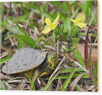 Tiny Turtle Close Up Wood Print by Al Powell Photography USA