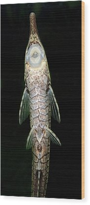 Twig Catfish Or Stick Catfish Wood Print by Nigel Downer