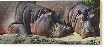 Two Hippos Sleeping On Riverbank Wood Print by Johan Swanepoel
