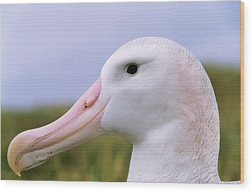 Wandering Albatross (diomendea Exulans Wood Print by Martin Zwick