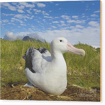 Wandering Albatross Incubating S Georgia Wood Print by