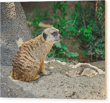 Watchful Meerkat Wood Print by Jon Woodhams