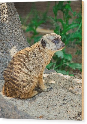 Watchful Meerkat Vertical Wood Print by Jon Woodhams
