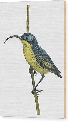 Wattled False Sunbird Wood Print by Anonymous