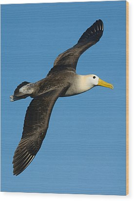 Waved Albatross Diomedea Irrorata Wood Print by Panoramic Images