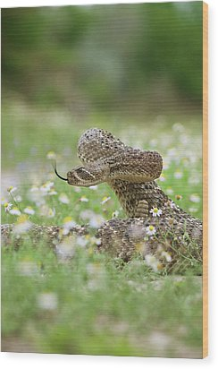 Western Diamondback Rattlesnake Wood Print by Larry Ditto