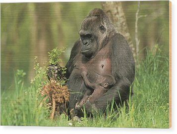 Western Gorilla And Young Wood Print by M. Watson