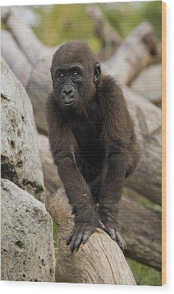 Western Lowland Gorilla Baby Wood Print by San Diego Zoo
