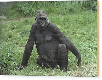 Western Lowland Gorilla Female Wood Print by Gerry Ellis