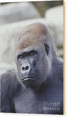 Western Lowland Gorilla Wood Print by Gregory G. Dimijian