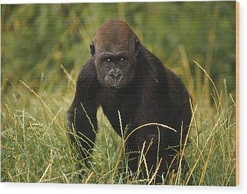 Western Lowland Gorilla Juvenile Wood Print by Gerry Ellis