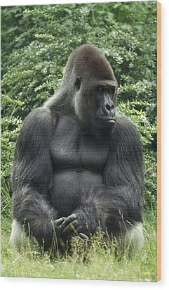 Western Lowland Gorilla Male Wood Print by Konrad Wothe