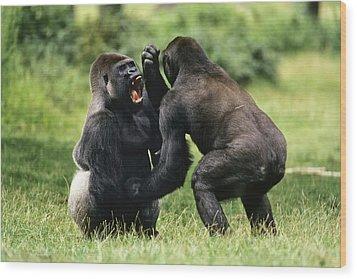 Western Lowland Gorilla Males Fighting Wood Print by Konrad Wothe