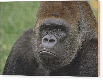 Western Lowland Gorilla Silverback Wood Print by Gerry Ellis