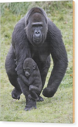 Western Lowland Gorilla Walking Wood Print by Duncan Usher