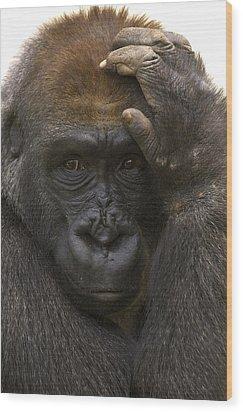 Western Lowland Gorilla With Hand Wood Print by San Diego Zoo