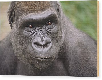 Western Lowland Gorilla Young Male Wood Print by Gerry Ellis