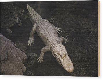White Alligator Wood Print by Garry Gay