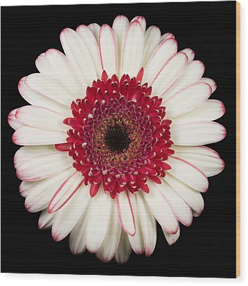 White And Red Gerbera Daisy Wood Print by Adam Romanowicz