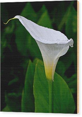 White Calla Wood Print by Rona Black