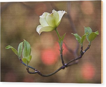 White Dogwood In Early Spring Wood Print by Frank Tozier