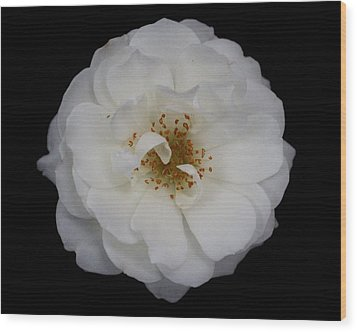 White Rose 2 Wood Print by Carol Welsh