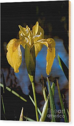 Wild Iris Wood Print by Robert Bales
