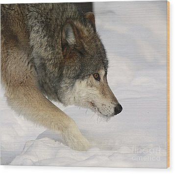 Wolf Dreams Wood Print by Inspired Nature Photography Fine Art Photography