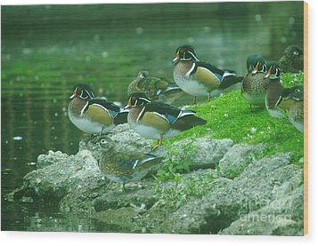 Wood Ducks Hanging Out Wood Print by Jeff Swan