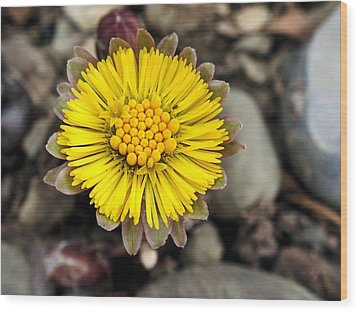 Yellow Coltsfoot Flower Wood Print by Christina Rollo