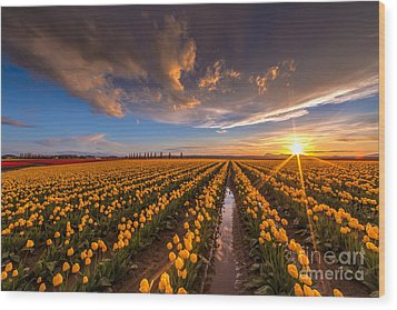 Yellow Fields And Sunset Skies Wood Print by Mike Reid