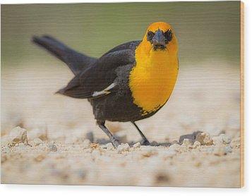 Yellow Headed Blackbird Wood Print by Chris Hurst