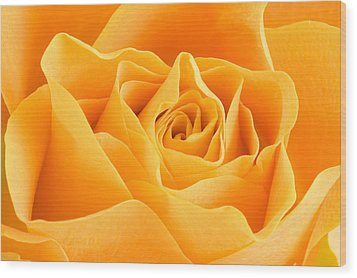 Yellow Rose Wood Print by Tilen Hrovatic