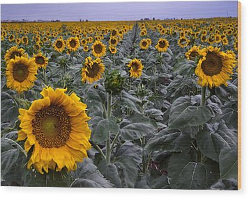 Yellow Sunflower Field Wood Print by Dave Dilli