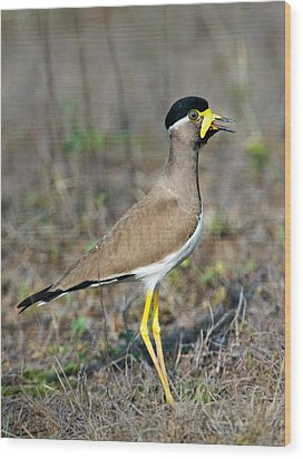 Yellow-wattled Lapwing Vanellus Wood Print by Panoramic Images