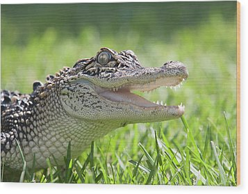 Young Alligator With Mouth Open Wood Print by Piperanne Worcester