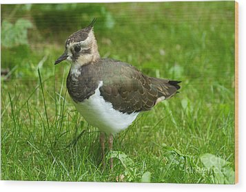 Young Lapwing Wood Print by Helmut Pieper