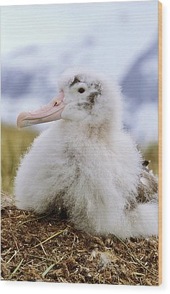 Young Wandering Albatross (diomendea Wood Print by Martin Zwick