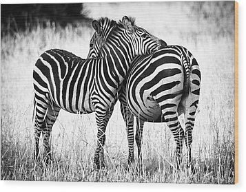 Zebra Love Wood Print by Adam Romanowicz