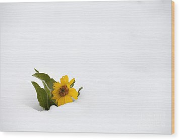 Balsamroot In Snow Wood Print by Hal Horwitz and Photo Researchers