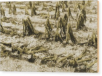 Cornfield After Hailstorm Wood Print by Science Source