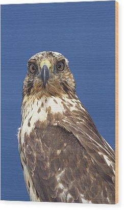 Galapagos Hawk Buteo Galapagoensis Wood Print by Tui De Roy