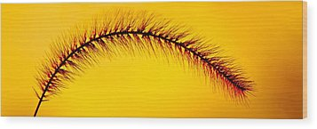 Giant Foxtail In Gold Wood Print by Jim Finch