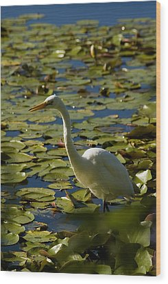 Great White Egret Perched On A Rock Wood Print by Todd Gipstein