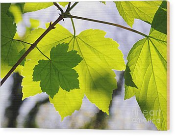 Green Leaves Wood Print by Carlos Caetano