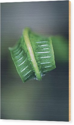 Hart's Tongue Fern Unfurling Wood Print by Colin Varndell